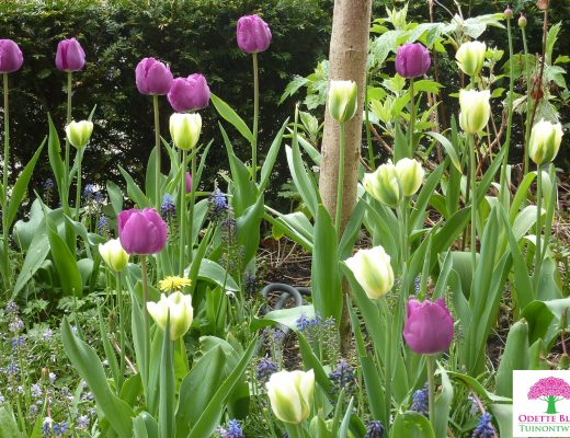 Tulipa 'Negrita' & Tulipa 'Spring Green