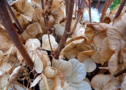 Bloemen van de Hortensia