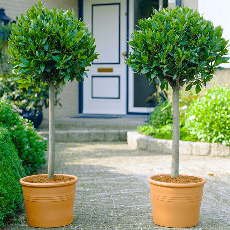 Bomen kleine tuin - Laurus Nobilis