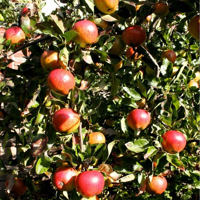 Bomen kleine tuin - Appelboom