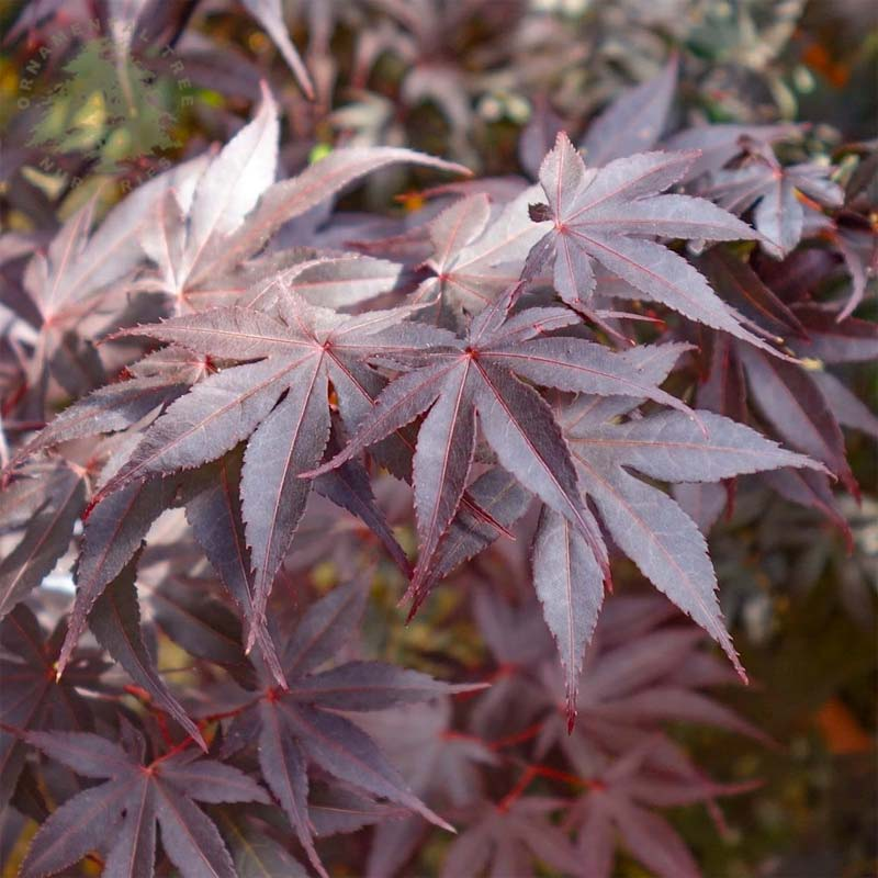 Bomen kleine tuin - Japanse esdoorn