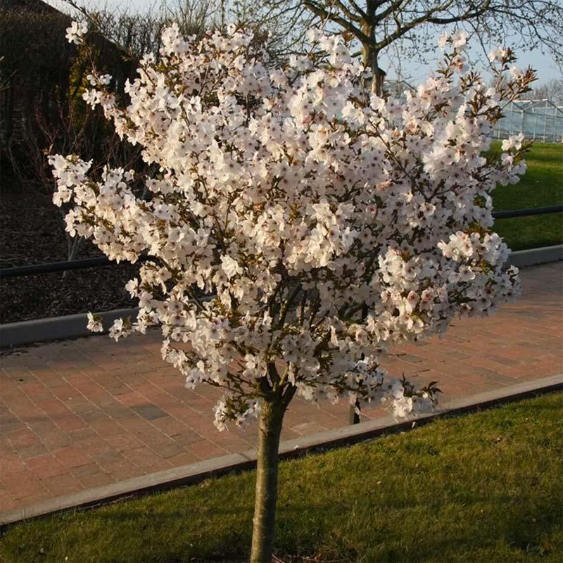Bomen kleine tuin - Japanse sierkers