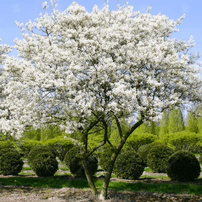 Bomen kleine tuin - Krentenboom
