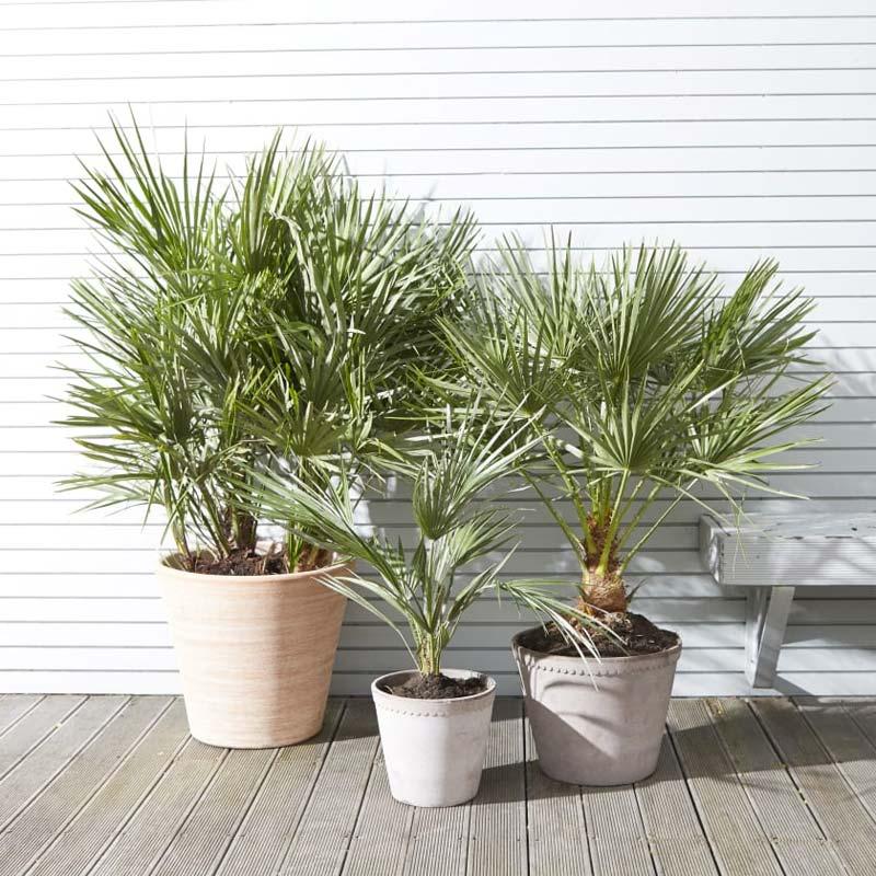 Bomen kleine tuin - Palmboom