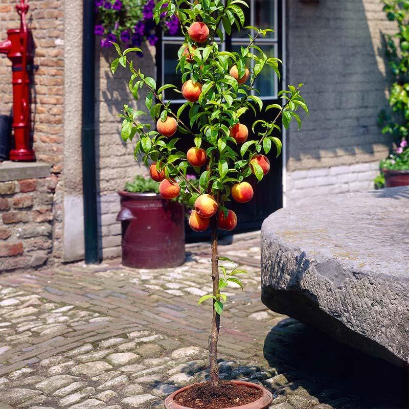 Bomen kleine tuin - Perzikboom