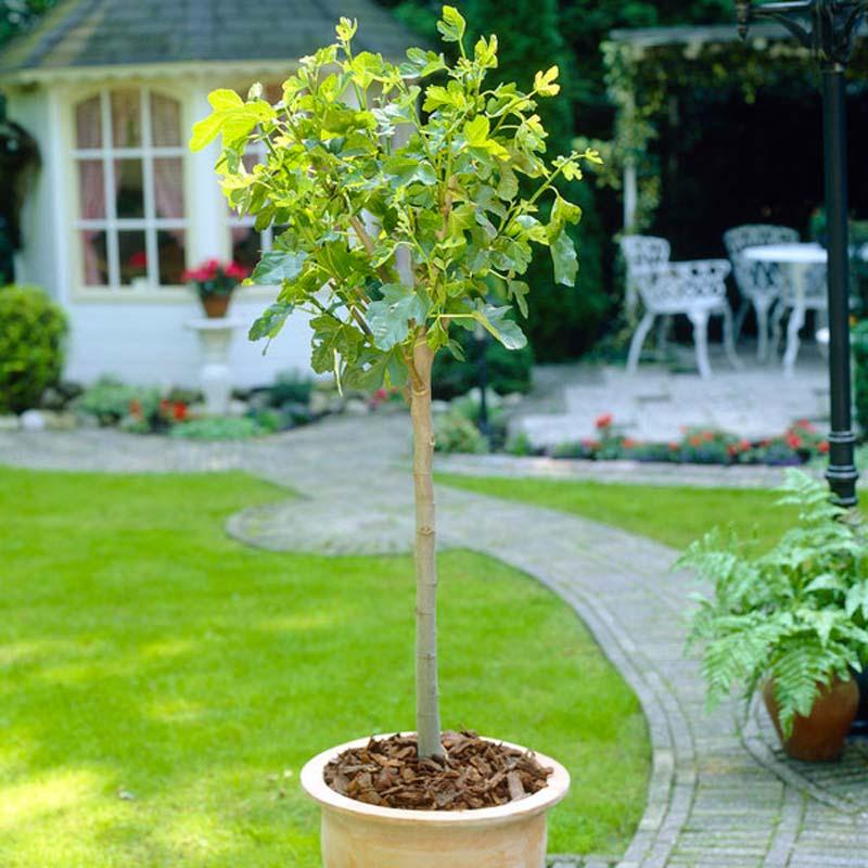 Bomen kleine tuin - Vijgenboom