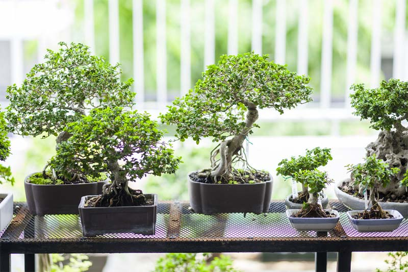 bonsai boom collectie op rek