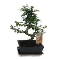 Bonsai Ficus Carmona in traditionale pot