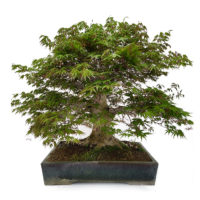 Bonsai Japanse Esdoorn ''orange dream''