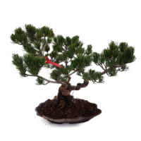 Bonsai Japanse witte den Medium