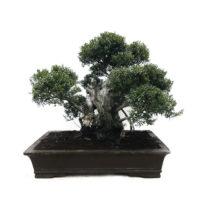 Bonsai Syzgium Yamadori