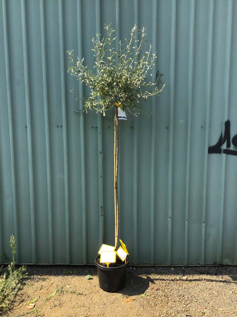 Boom kleine tuin - Siertreurpeer