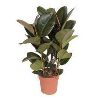 De Rubberplant (Ficus elastica)