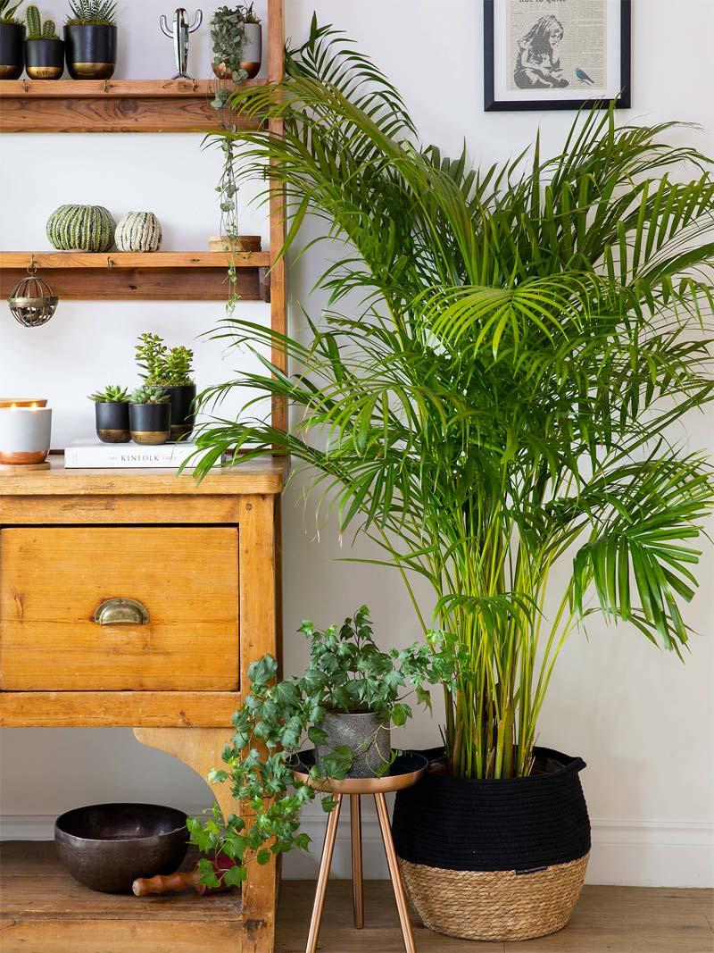 grote kamerplant areca palm