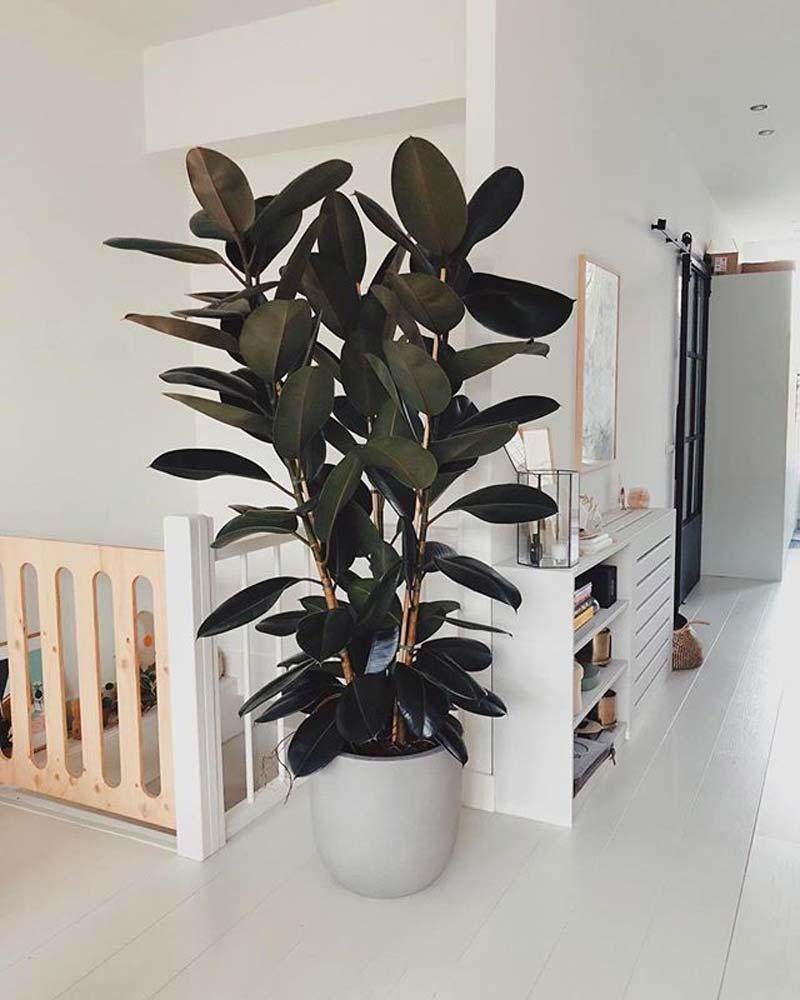 grote kamerplant rubberplant