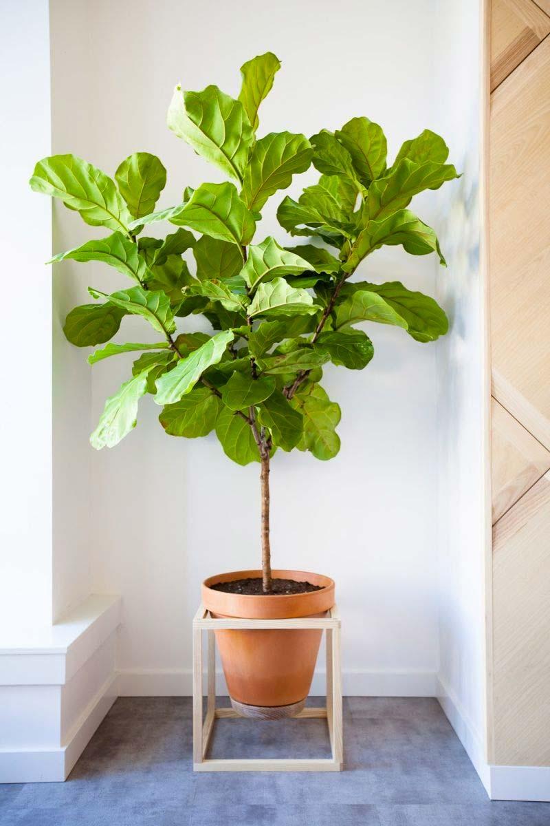 grote kamerplant vioolbladplant