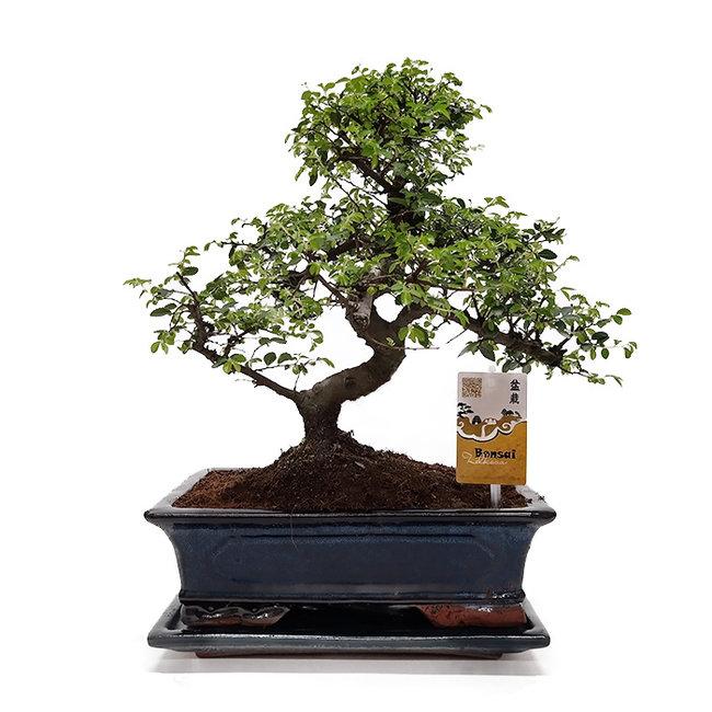 housewarming cadeau bonsai boom