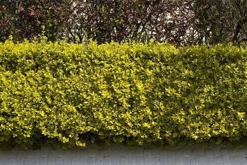 kant en klare hagen Bonte Haagliguster