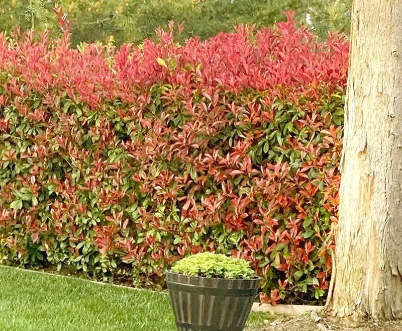 kant en klare hagen Glansmispel Red Robin