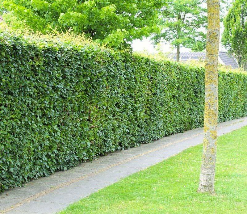 kant en klare hagen groene beuk