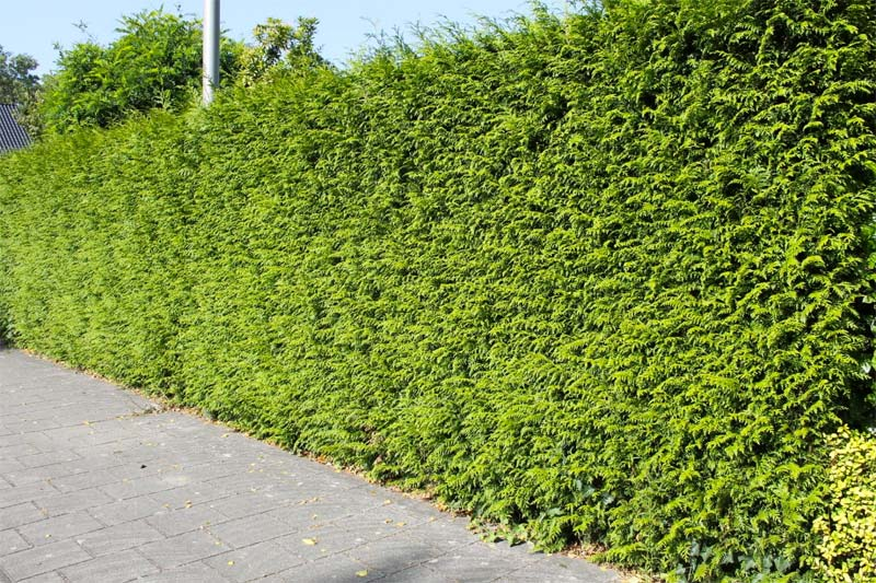 kant en klare hagen levensboom brabant