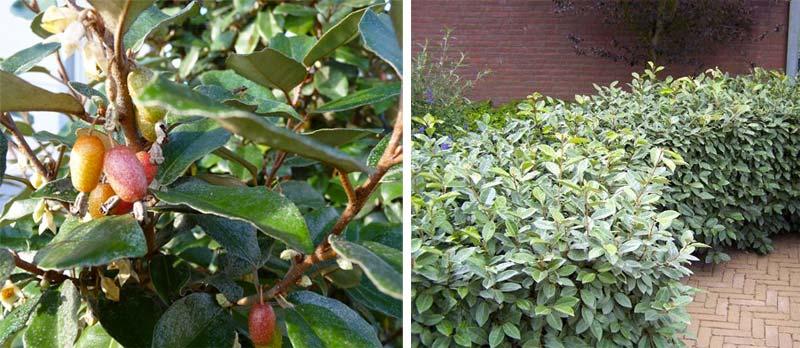 kant en klare hagen olijfwilgen
