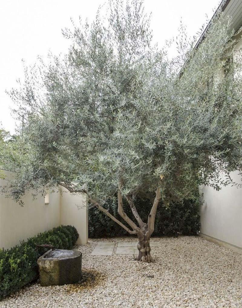 mediterrane tuin olijfboom