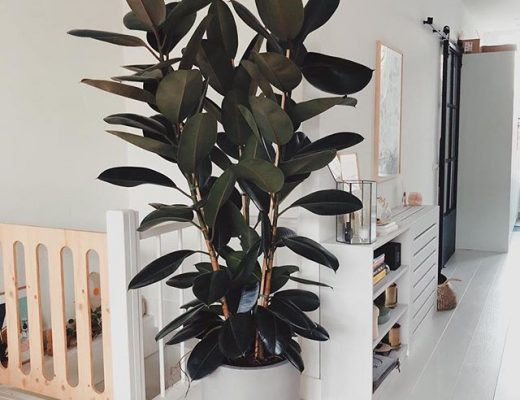 Rubberplant woonkamer