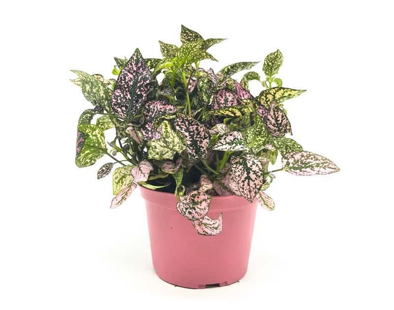 terrarium plantjes Hypoestes Phyllostachya