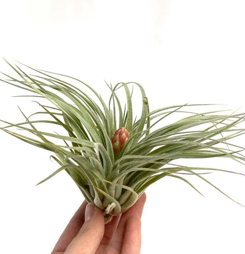 terrarium plantjes Tillandsia