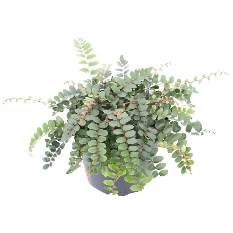 terrarium plantjes dubbeltjesvaren
