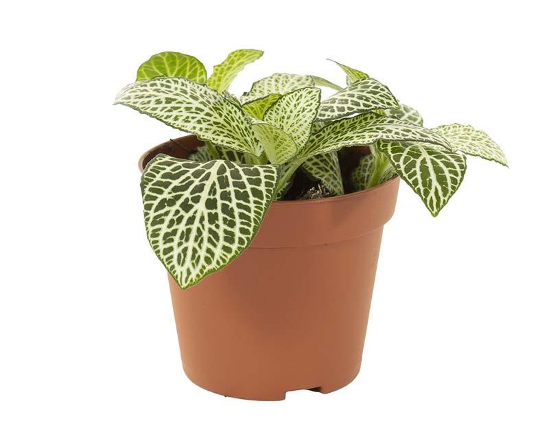 terrarium plantjes fittonia