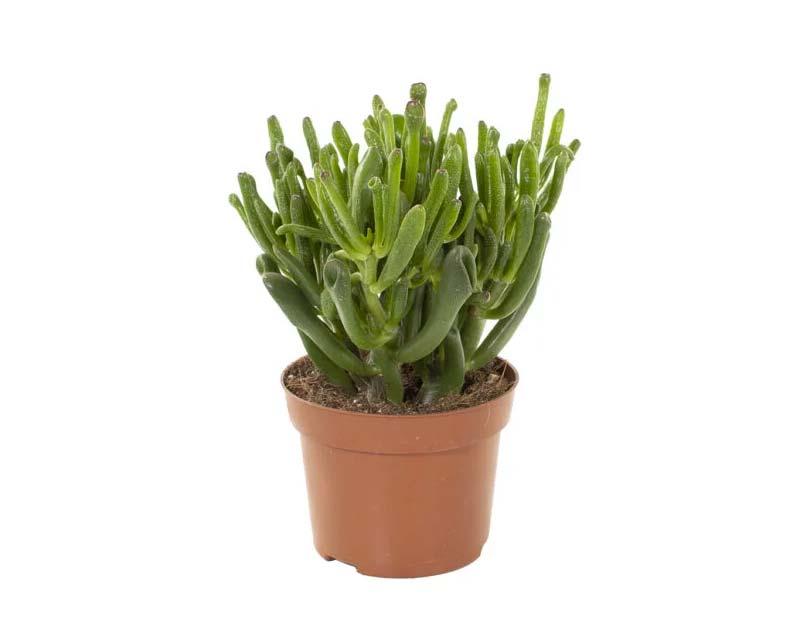 terrarium plantjes jadeplant