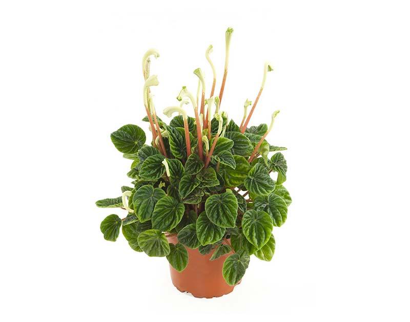 terrarium plantjes rattenstaartje