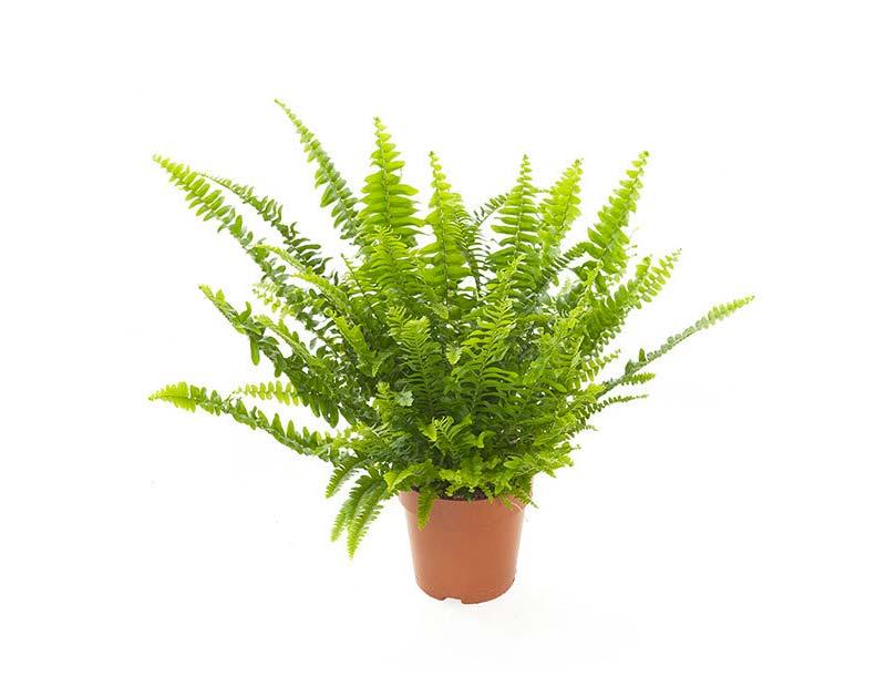terrarium plantjes varens