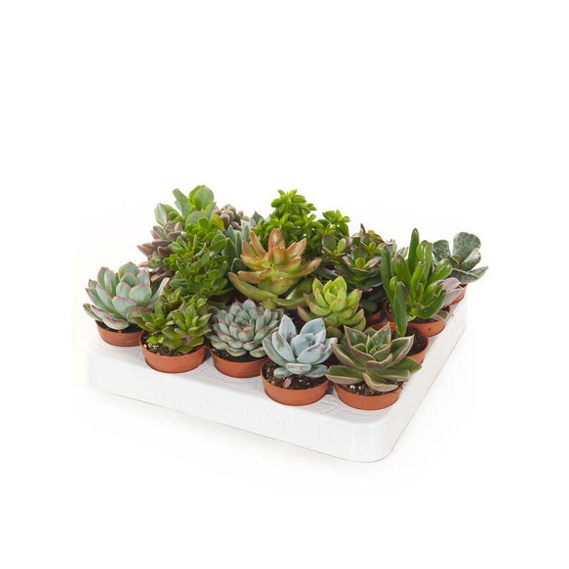 terrarium plantjes vetplanten