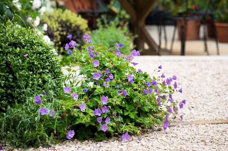 tuin voorbeelden grindtuin paarse bloemen