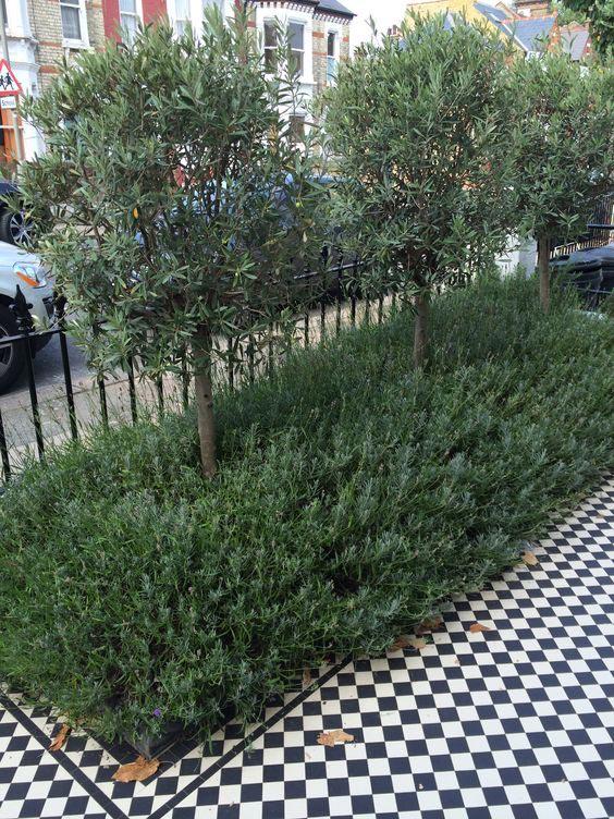 voortuin ideeën olijfbomen
